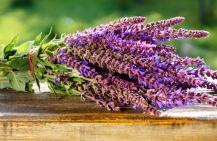 Лечебные свойства шалфея, применение и противопоказания